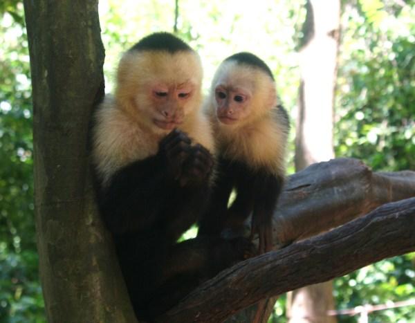 Monkey business in Roatan, Honduras 2011