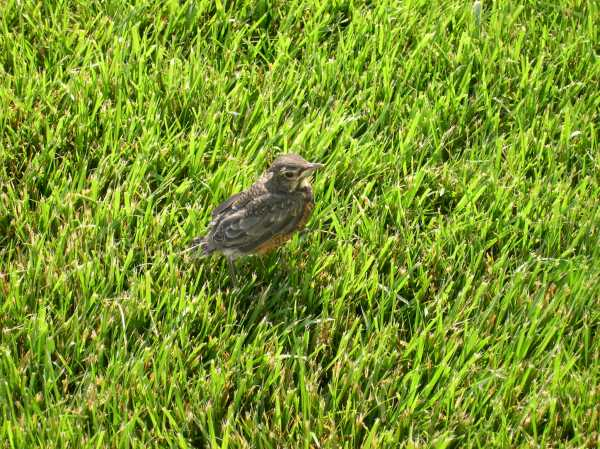 A baby Robin that has just left the nest, photgraphed on our front lawn in 2005