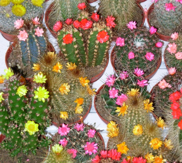 Cactus flowers in an Amsterdam floral shop, March 2007
