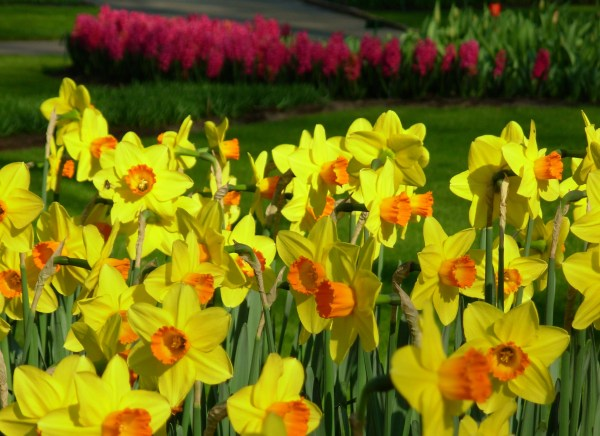 Daffodils at Keukenof, Netherlands, March 2007