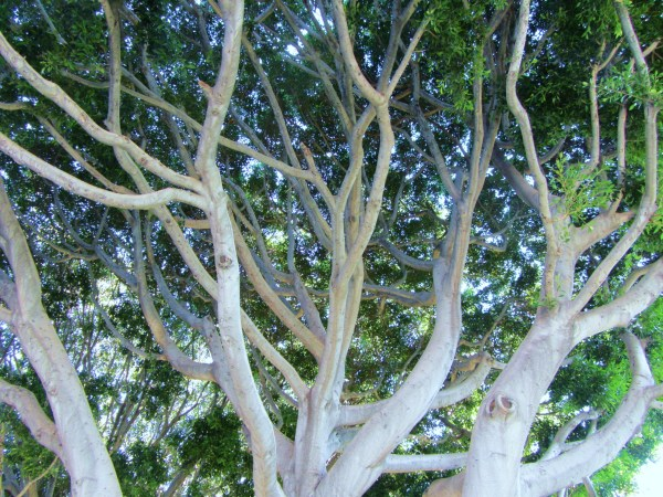 A tree that caught my eye while walking in Culver City, California 2011