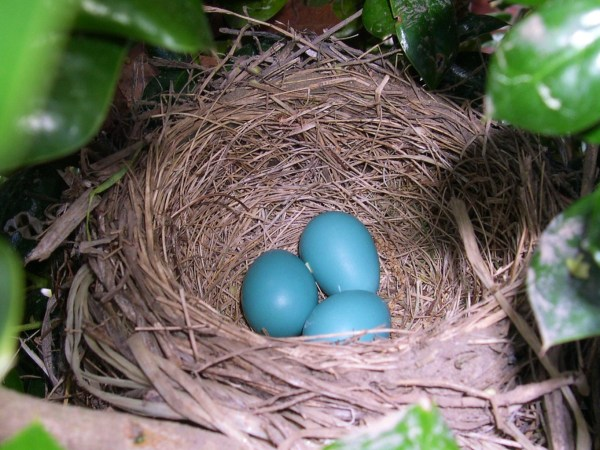 Our Robins prepare for spring, 2005