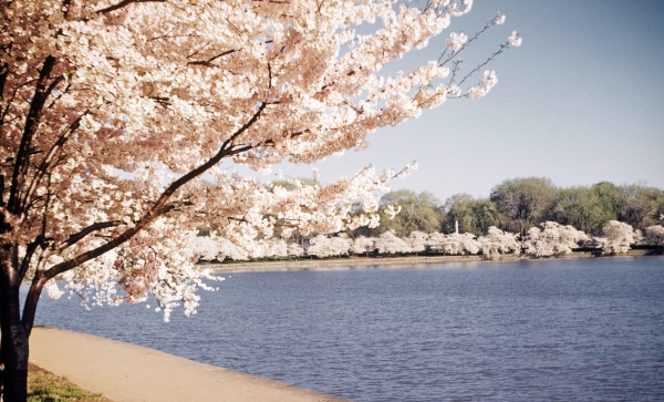 The cherry blossoms decorate the tidal basin in the springtime, sometime in the mid 1970's