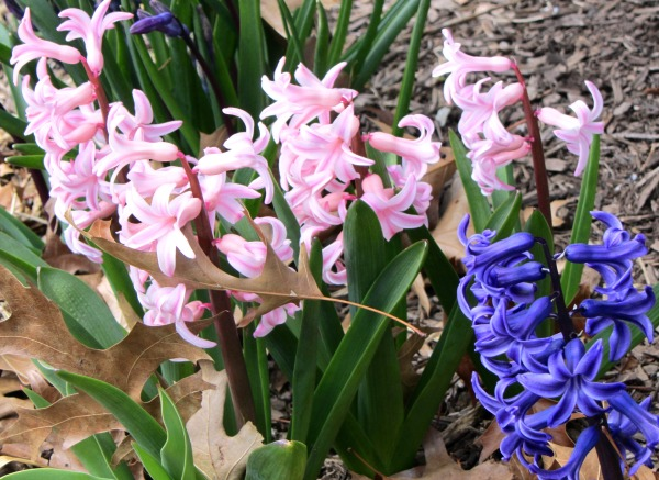 My neighbor's miniature hyacinths add a spot of beauty to my walk, March 2013