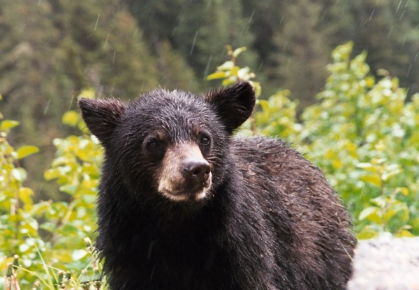 This cub was as curious about us as we were about him! Near Skagway, Alaska, June 2000