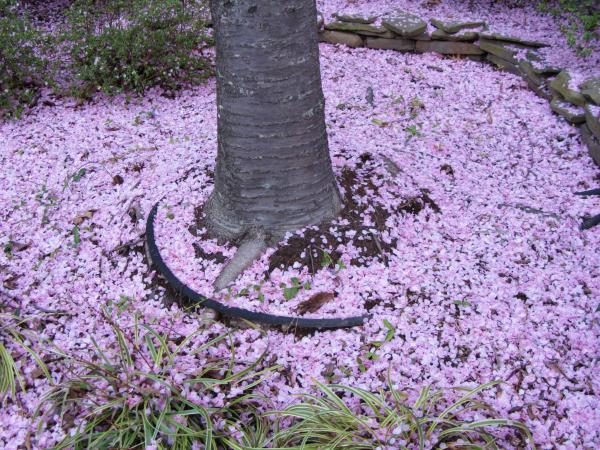 """Pink snow"" surrounds our cherry blossom trees, covering the lawn and sidewalks, 2012"