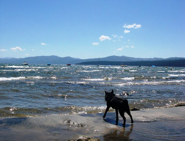 Pasha looks out on the beautiful waters of Lake Tahoe, August 2004