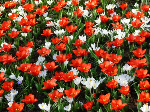 The party at Keukenhof (in the Netherlands) was well underway in this photo taken in late March 2007
