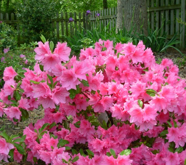 This is one of my favorites of our many azaleas, photographed in April 2008