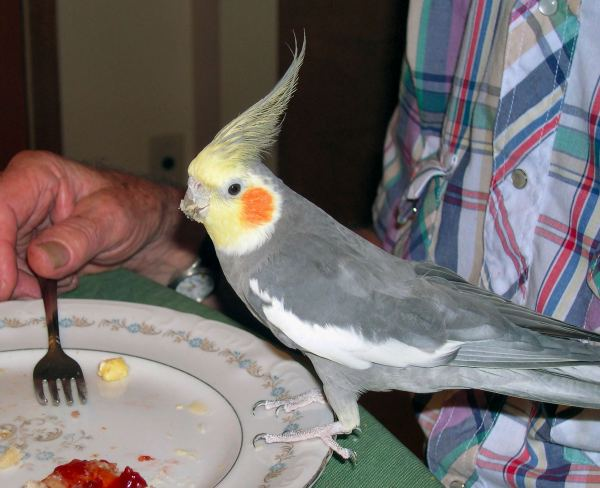 Mama's cockatiel, Pumpkin, loved to eat off Daddy's plate. August 2005