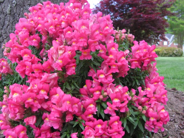 These snapdragons weren't supposed to come back, but they reappear every year.  May 2013