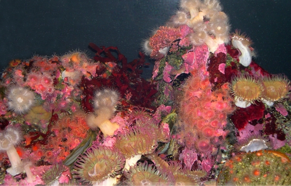 December 2002 photo of sea anemones from the Monterey Aquarium