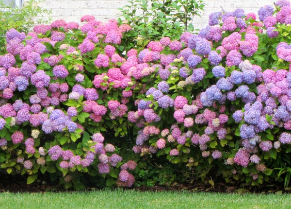 Many of our neighbors have stunning hydrangeas this year