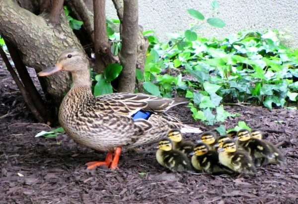 A mother duck and her ducklings at Walter Reed National Military Medical Center, May 2013