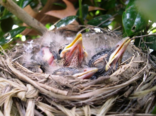 The baby robins open their eyes and prepare for rapid growth, May 2005