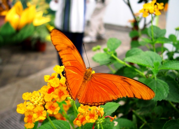A butterfly brightens the Conservatory of Flowers in San Francisco, October 2003