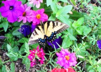 This tiger swallowtail fluttered by in time to pose for today's quote, August 2013