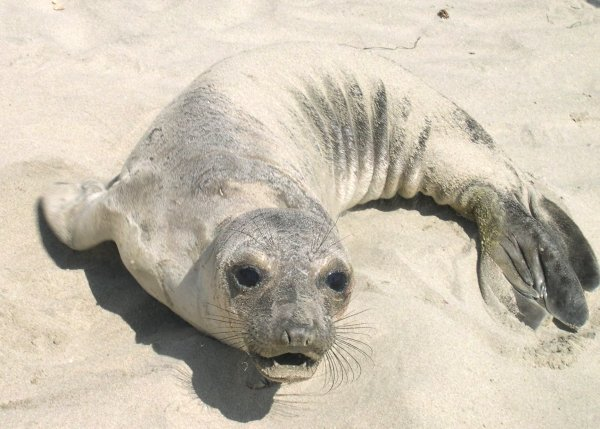 This frightened little stranded seal was soon to be rescued. Santa Cruz, CA, June 2003