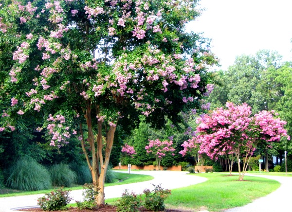 These crape myrtle trees brighten my summer walks every year.  August 2013