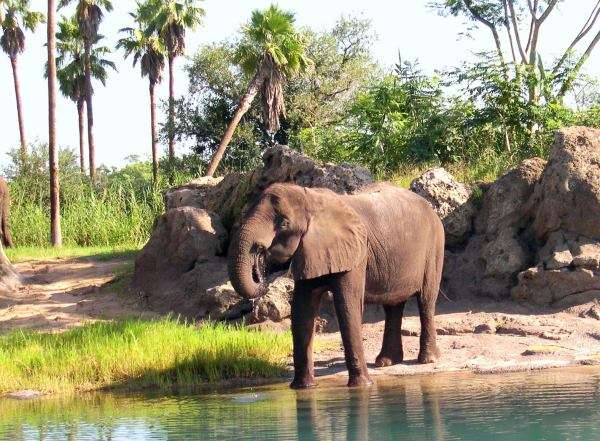 I photographed this elephant at Disney's Animal Kingdom, August 2003.
