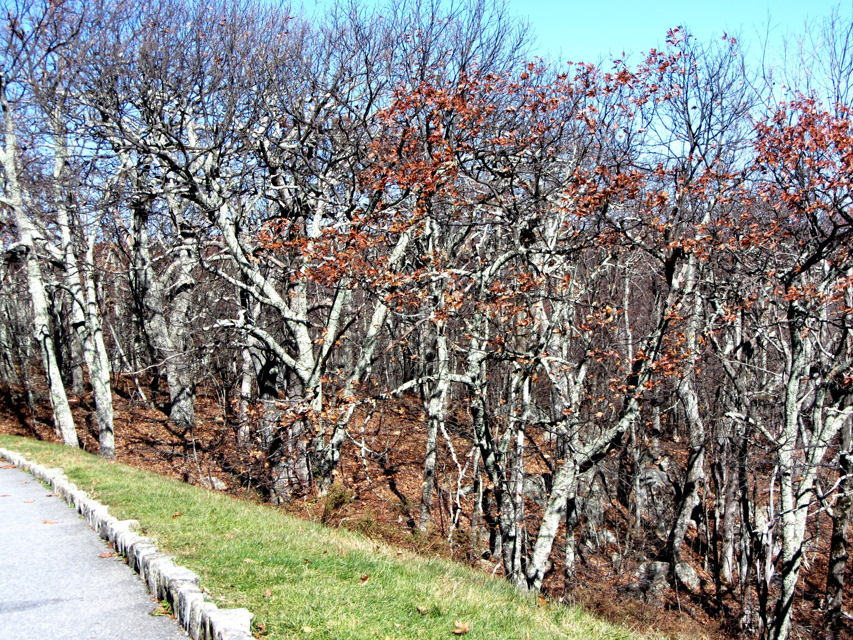 These Blue Ridge Parkway trees are still beautiful even after losing their leaves in November 2011.