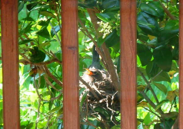 One of our Robins in the favored nesting spot by our deck, April 2008