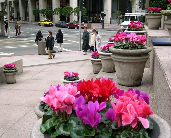 Cyclamen blooms brighten a gray January day in the Financial District of San Francisco, 2004.