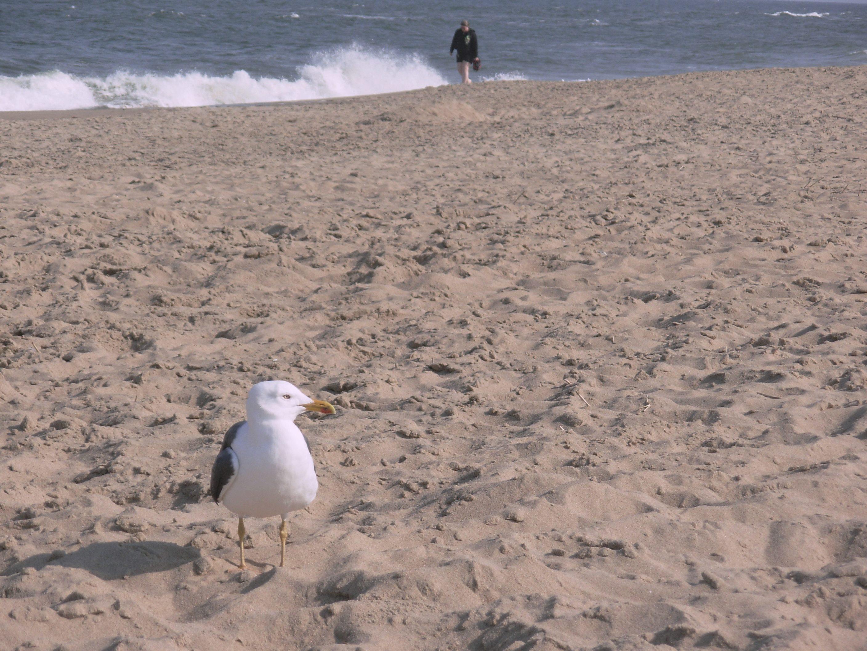 A gull and a person, enjoying solitude at the beach. Dam Neck, Virginia, April 2010