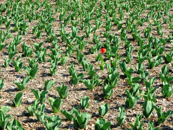 If this field was full of flowers, that tulip would scarcely be noticed.  Washington, DC, April 2013