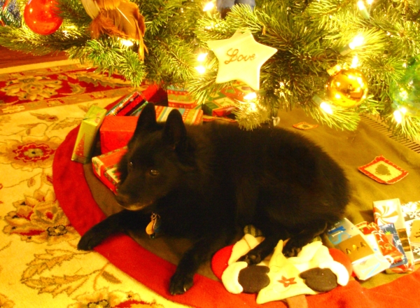 Pasha always loved to relax under the Christmas tree.  December 2010
