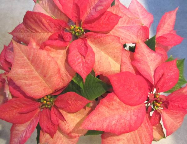 These lovely Poinsettias were a gift from our friend Tammy in December, 2012.