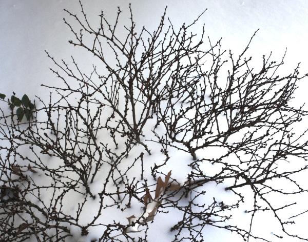 Fragile but unbroken, a shrub sleeps beneath a blanket of snow, January 2010.