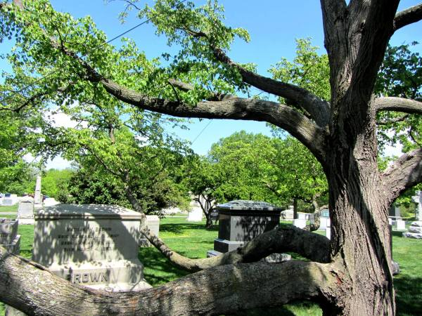 A tree entwined with headstones at Arlington National Cemetery, April 2012