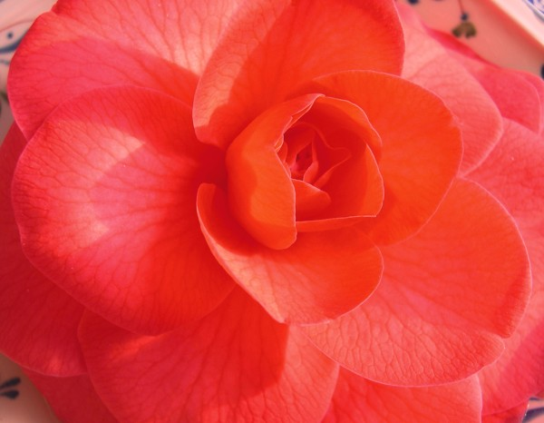 I photographed this camellia from our yard on January 15, 2003.
