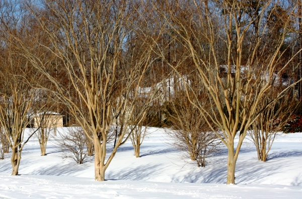 Crape myrtles in winter, bare but set to bloom beautifully,  January 2010.