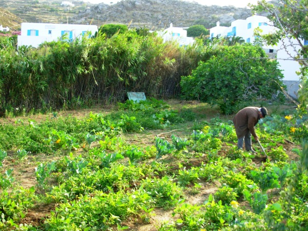 A gardener in Mykonos, Greece, tending his plants.  May 2008