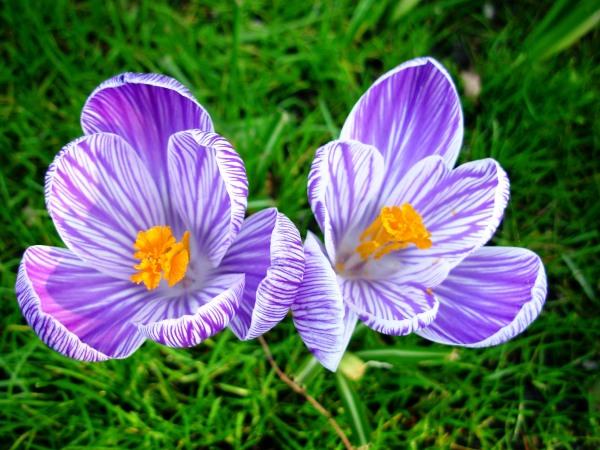 Crocus blooms at Keukenhof, March 2007