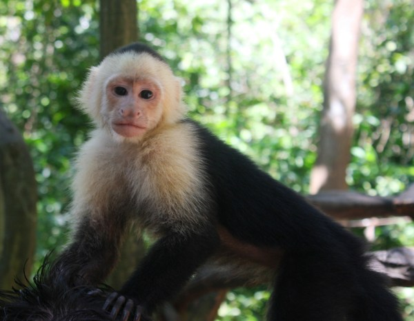 I photographed this monkey in Roatan, Honduras, in March 2011.