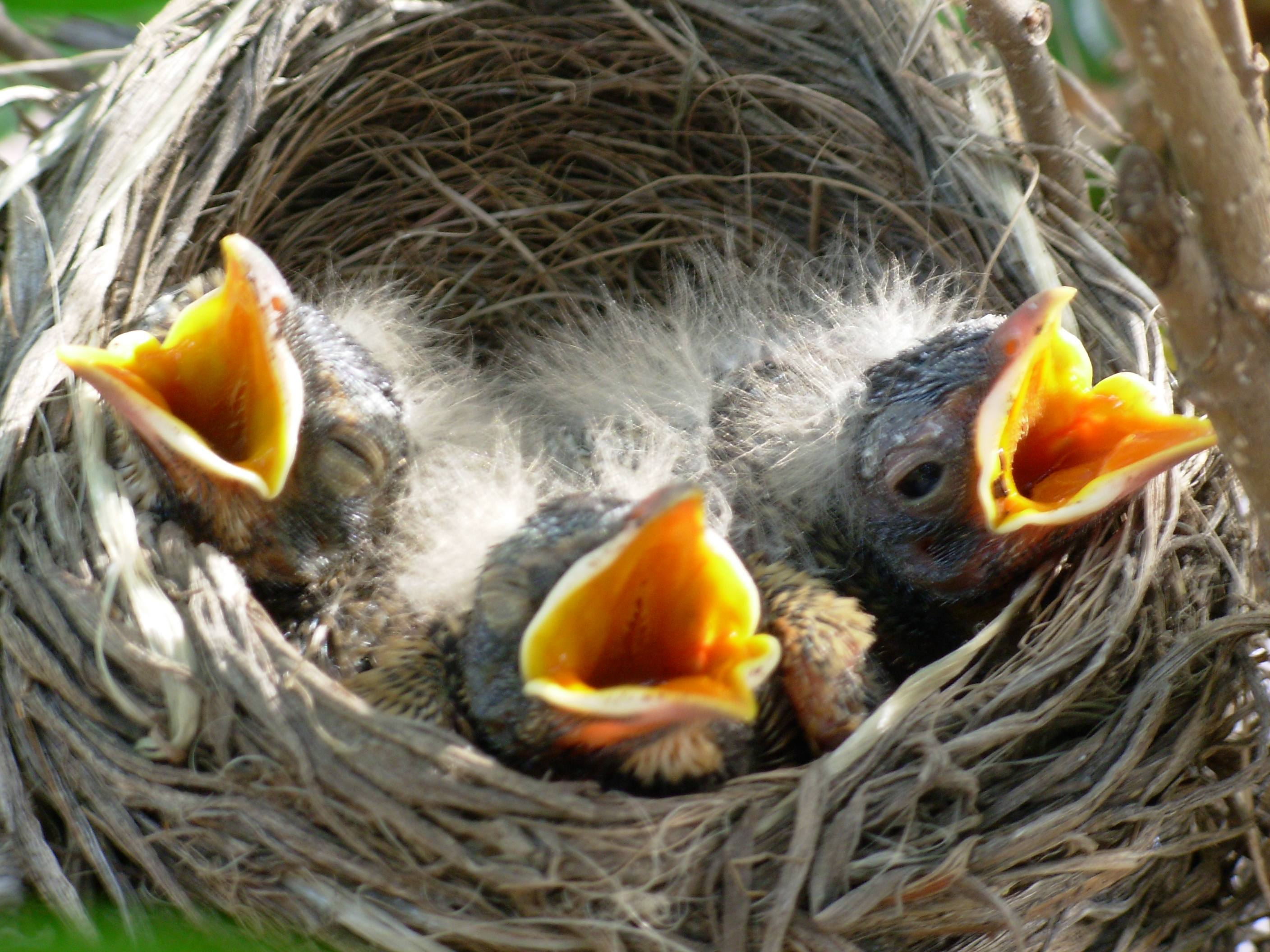 Hungry birds: these babies sing for their supper! May 2008