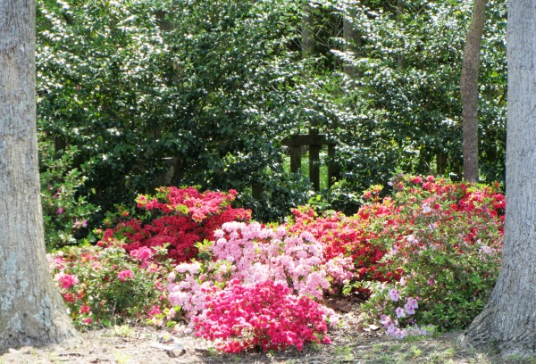 Some of our azaleas as photographed on Easter morning, April 2012