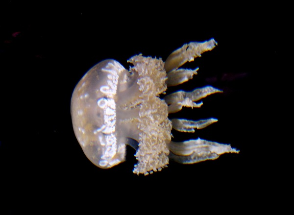 A spotted jelly performs at The Jellies Experience, Monterey Bay Aquarium, CA, December 2002.