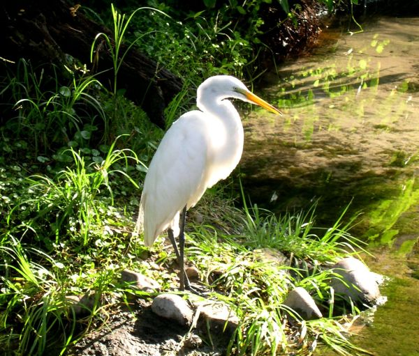 A white heron catches the light at Disney World, August 2003.
