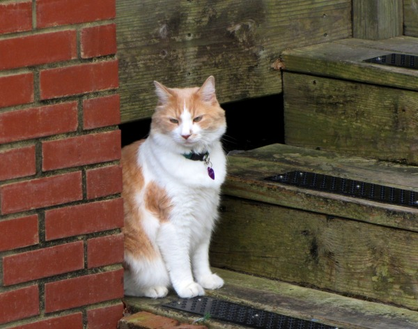 I met this contemplative kitty while strolling on Roanoke Island, September 2013.