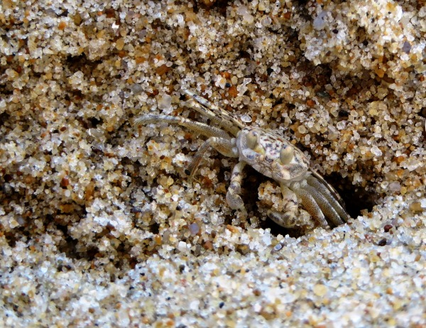 A few grains at a time, this tiny sand crab dug an impressive hole. Dam Neck, Virginia, June 2014