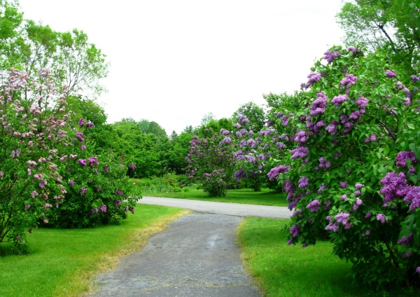 The lilac grove at Montreal Botanical Garden is a great place to re-visit in my mind!  May 2009