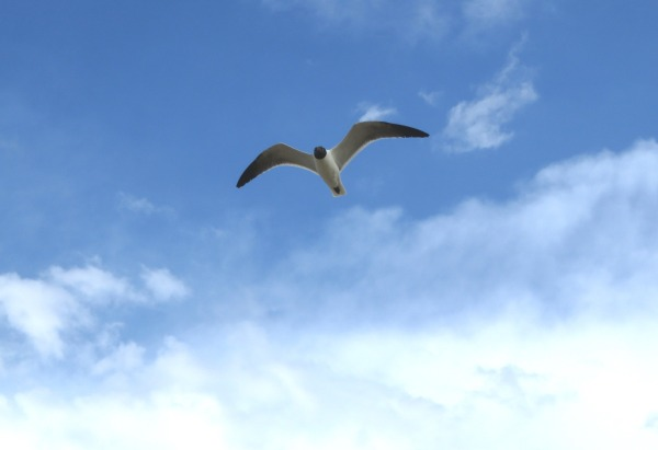 A seagull soars over the Atlantic at Dam Neck, Virginia, June 2014