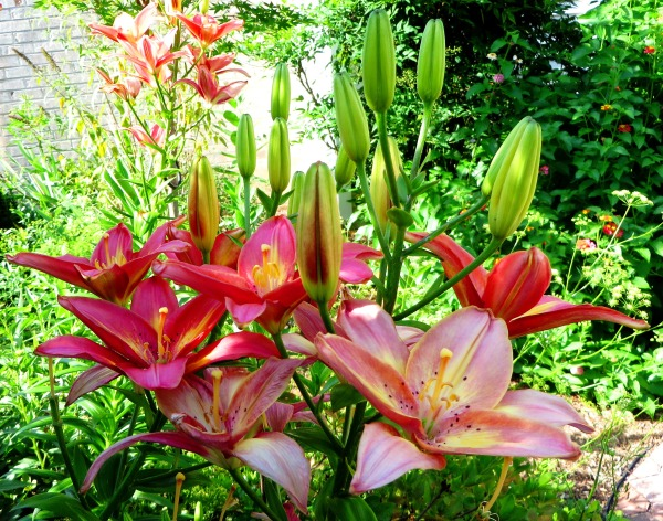 These beautiful lillies are part of a reading garden at the public library. Poquoson, Virginia, 2014