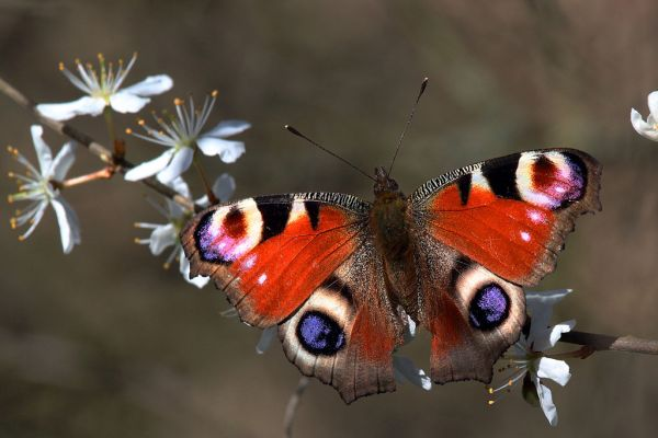 Peacock butterfly (inachis io) by Charlesjsharp  (CC BY-SA 3.0)