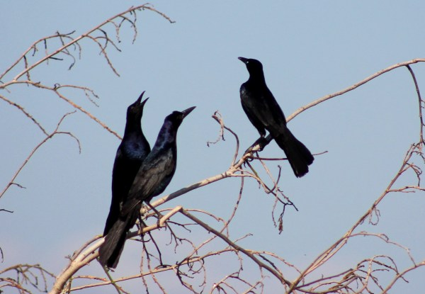 It would be easy for me to postpone work with grackles all around. Common boat-tailed grackle by cuatrok77 via Wikimedia Commons
