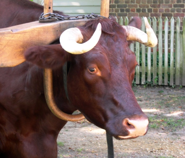 I photographed this yoked ox at Colonial Williamsburg, Virginia, in October 2005,